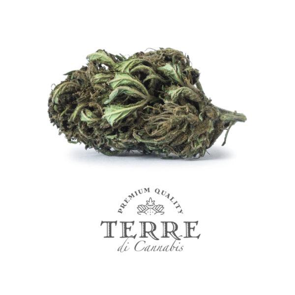 briosa cbd topskud Jack Frost cannabis 3